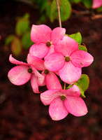Dogwood British Columbia 7393